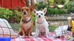"""Image for the Film programme """"Beverly Hills Chihuahua 3: Viva La Fiesta!"""""""