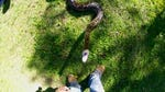 """Image for the Nature programme """"Exotic Invaders: Pythons in the Everglades"""""""