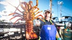"Image for the Documentary programme ""Giant Lobster Hunters"""